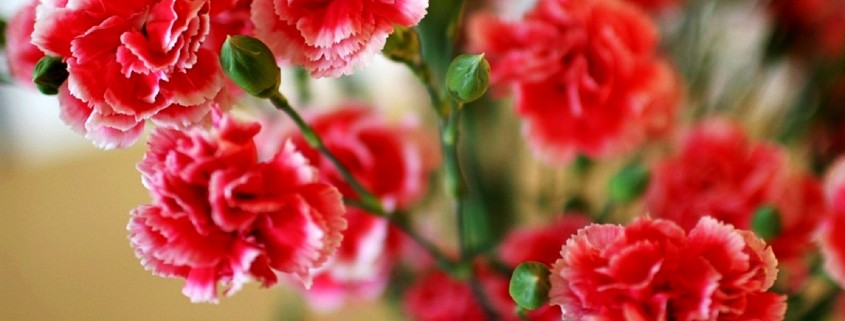 Carnations-Wallpaper-8-845x321